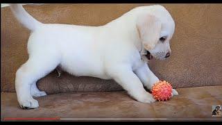 Очень милый щенок лабрадора. Puppy Labrador.