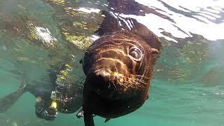 Плавание с морскими котиками Кейптаун/ Cape Town Seal Swimming