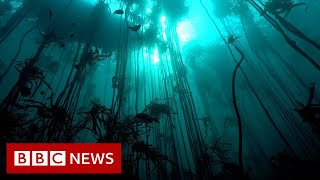 Saving the Octopus Teacher kelp forest - BBC News