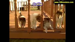 Collie, Puppies, For, Sale In Toronto, Canada, Cities, Montreal, Vancouver, Calgary