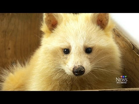 A natural blonde: Unique raccoon shows up at N.S. shelter