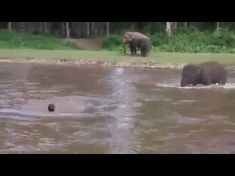 An elephant is thrown into a river and...