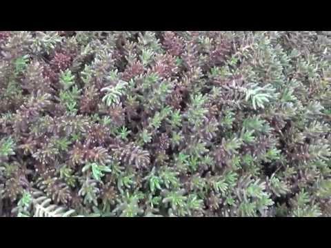 """Почвопокровные растения """"Очитки (Седумы)"""" Groundcover """"stonecrop (sedum)"""""""