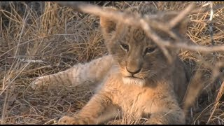 Safari Live : The Nkuhuma Pride including the new cubs Sept 14, 2017 thumbnail