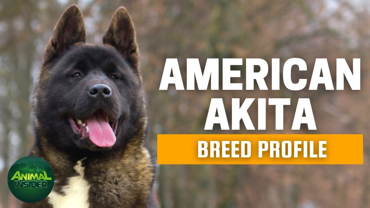 Download American Akita Dogs 101   A Clean Freak Dog Who Has Extreme Passion for Snow