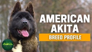 American Akita Dogs 101 | A Clean Freak Dog Who Has Extreme Passion for Snow