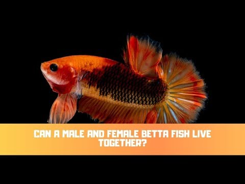 Can A Male And Female Betta Fish Live Together?