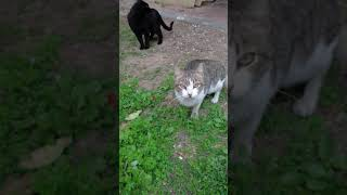 Смешной кот мяукает. Funny Cat Meow. Lustige Katzen. Kucing Lucu. Gatos Graciosos. Chats Drôles. 猫