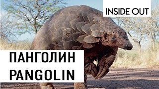ВРАГ МУРАВЬЕВ ПАНГОЛИН | PANGOLIN | Муравьиная ферма не выдержит