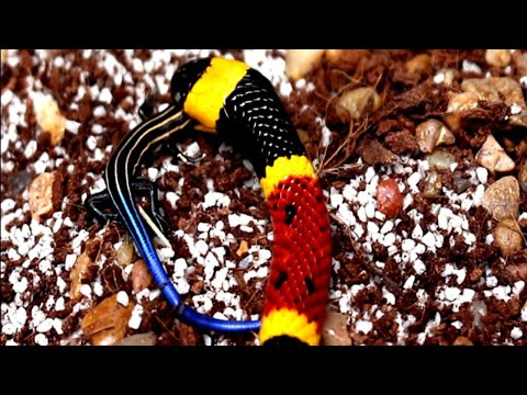 My Coral Snake Tries To Eat A Fer-de-lance Viper!!!| Coral Snake