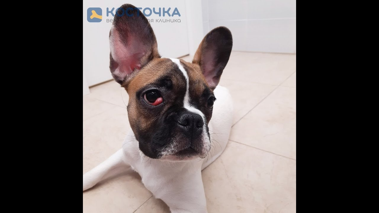 Пролапс слезной железы у собак и кошек - YouTube