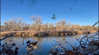 All Green Limit Solo Duck Hunt on Public Land (Must See Triple!)
