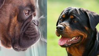 Немецкий Боксер -Тайсон и  Ротвейлер.Boxer vs Rottweiler .