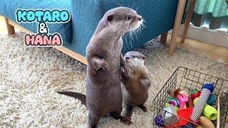 Otter Kotaro&Hana Get on Great Together