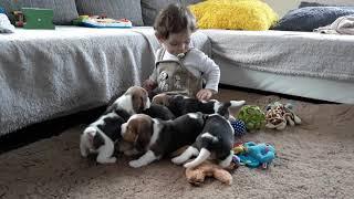 Beagle kutsikad 2018