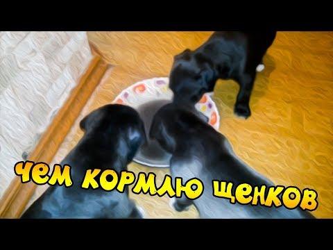 фаина питбуль)) чем кормить щенят (щенков)