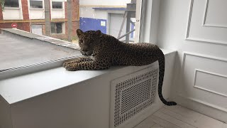 Прямой эфир с леопардом Цезарем.