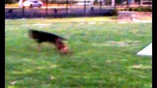 Min Pin Miniature Pinscher Yorkie @ Dog Park