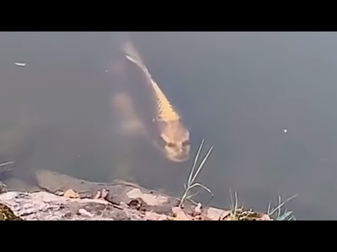 Verstörende Bilder: Mann filmt Fisch in China mit menschlichem Gesicht!