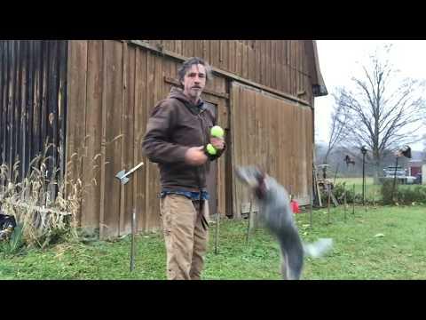 Agility with Australian Cattle dog