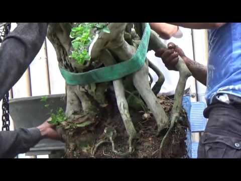 A Day in the Life of Bonsai Iligan: Repotting a Man Size Premna