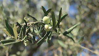 Zeytin üretiminde dünya liderliği mümkün mü? Zeytincilik sektörü katma değer yaratmak istiyor