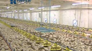 Птицефабрика(Что появляется раньше - курица или яйцо? Ответ знают на Пермской птицефабрике. Там собираются построить..., 2011-09-14T12:48:28.000Z)