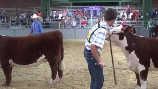 Polled Hereford Champion Drive