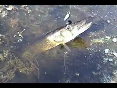 Big and angry pickerel foul hooked freshwater fish long for Freshwater fishing long island