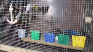 Разведение волнистых попугаев - выгодно или нет?