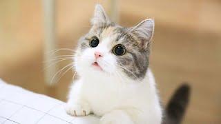 Top 7 Giống Mèo ĐÁNG YÊU Nhất Thế Giới