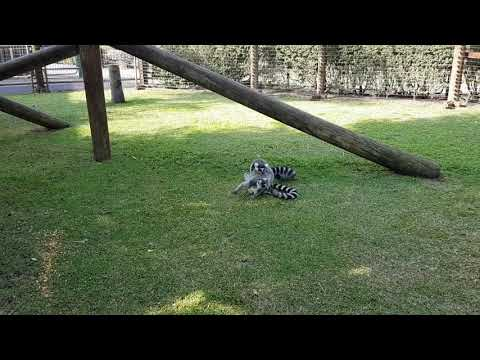 Mating of ring-tailed lemurs