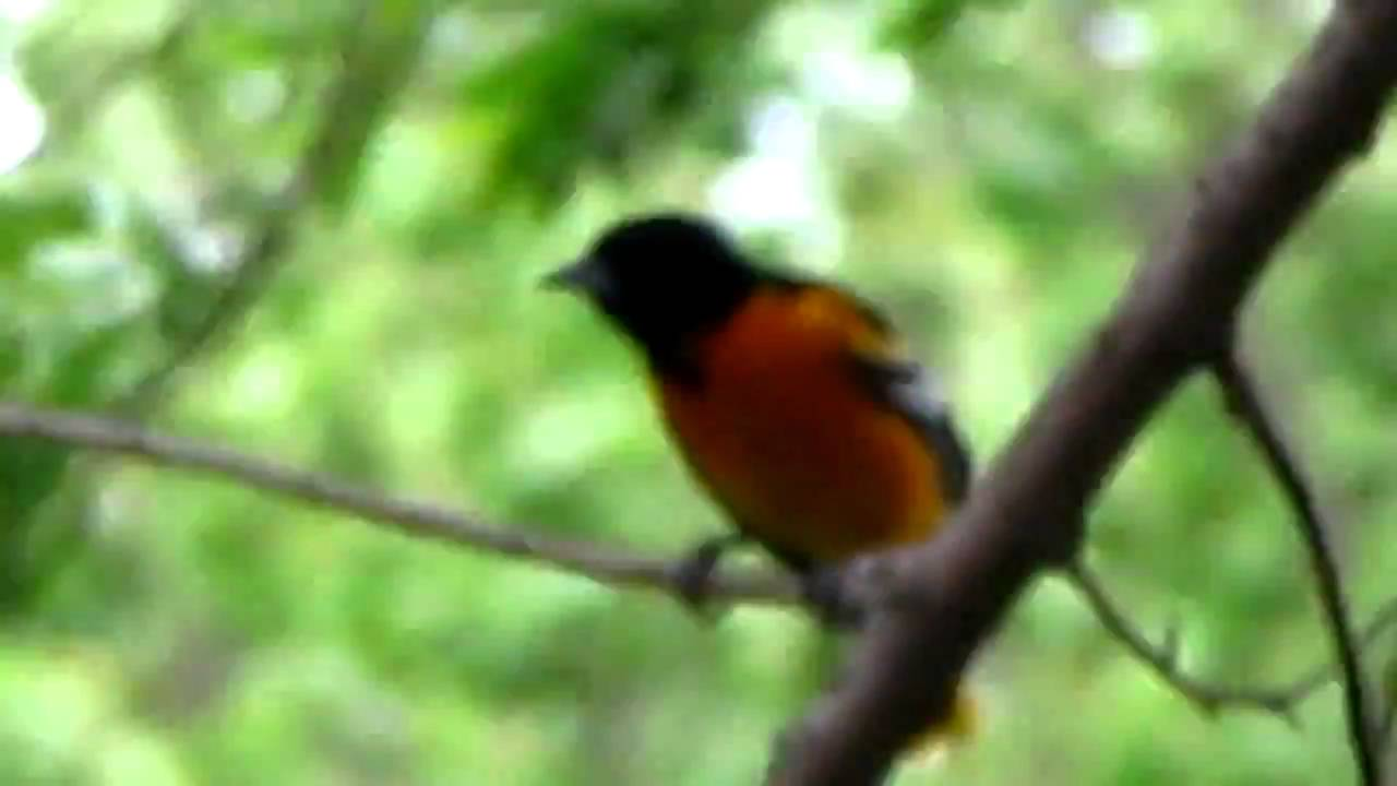 Male and female orioles