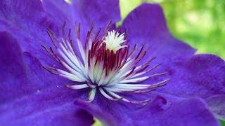 Подкормка клематисов весной: виды удобрений