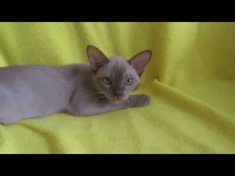 Европейская Бурма котенок / European Burmese kitten