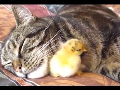 Mom Cat Adopts Chick,Bunny,Puppy || Feeding them as Her own kittens