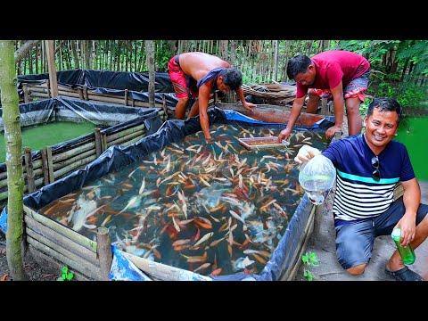 Ornamental Fish Farming( Buying & Producing Thousands Of Fish)Catfish Breeding