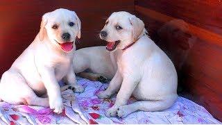 Смешные Толстые Щенки Лабрадора 2 месяца. Funny fat Labrador puppies 2 months.