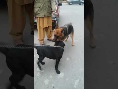 Dog Fight Love