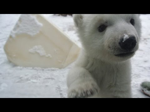 Watch a polar bear cub's first time playing in snow