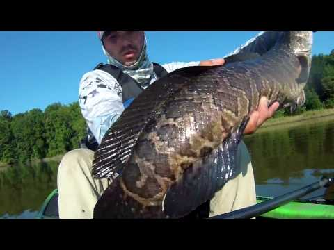 Huge! Potomac Snakehead Fishing