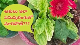 Yellow leaves ||Plant Leaves Turning Yellow - Reason and Cure || Leaf Yellowing and Leaf Drop