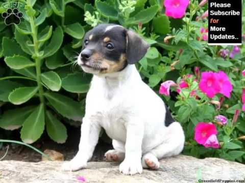 Puppy Terrier Cute And Lovely Dog Pics Collection Rat Terrier