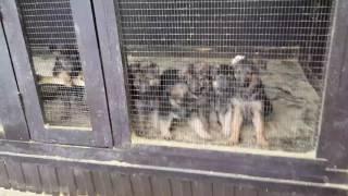 Продажа щенков и подростков немецкой овчарки.