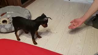 Дрессировка щенка цвергпинчера 3 месяца