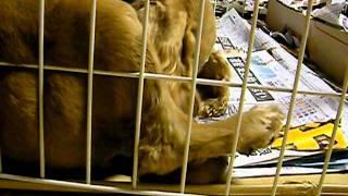 犬の出産動画です。