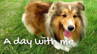 Sheltie daily life  | A day with a Sheltie [DOG VLOG #3]