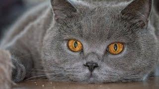 Уход за британским котенком(Как приучить котенка к лотку)