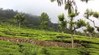 Plantacja herbaty ooty