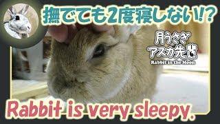 撫でても2度寝しない!?【ウサギのだいだい 】 2018年2月25日 thumbnail